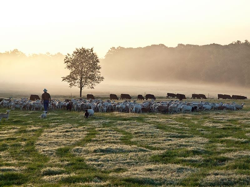 Herd of sheep and cattle on open pasture