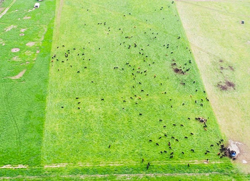 Overhead shot of cattle grazing on pastures