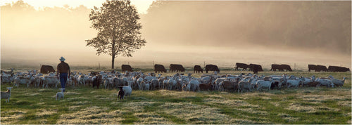 Man walking through field with sheep and cattle