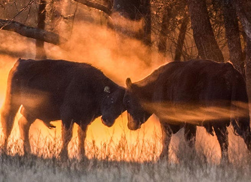 Two bulls butting heads