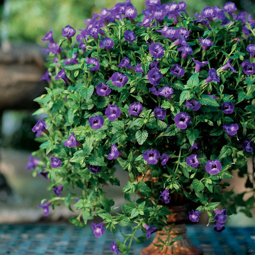 Summer Wave® Large Violet Torenia | Proven Winners