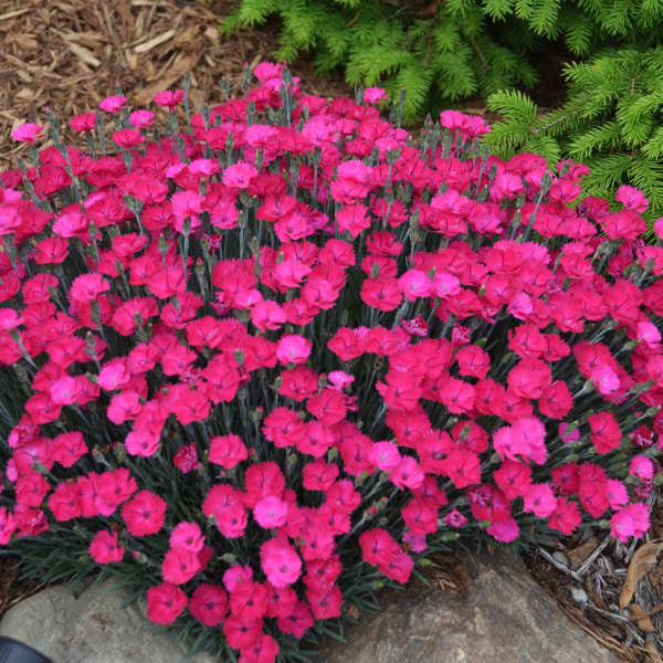 'Paint the Town Magenta' Dianthus | Proven Winners