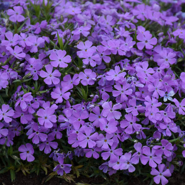 Mountainside™ 'Crater Lake' Hybrid Spring Phlox | Proven Winners