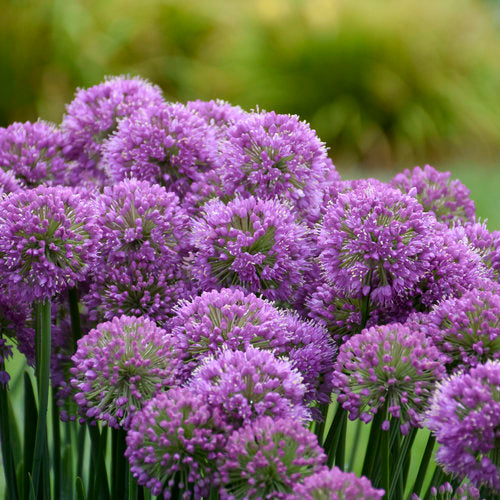 'Serendipity' Ornamental Onion Allium | Proven Winners