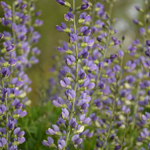 Decadence® Deluxe 'Blue Bubbly' Baptisia | Proven Winners