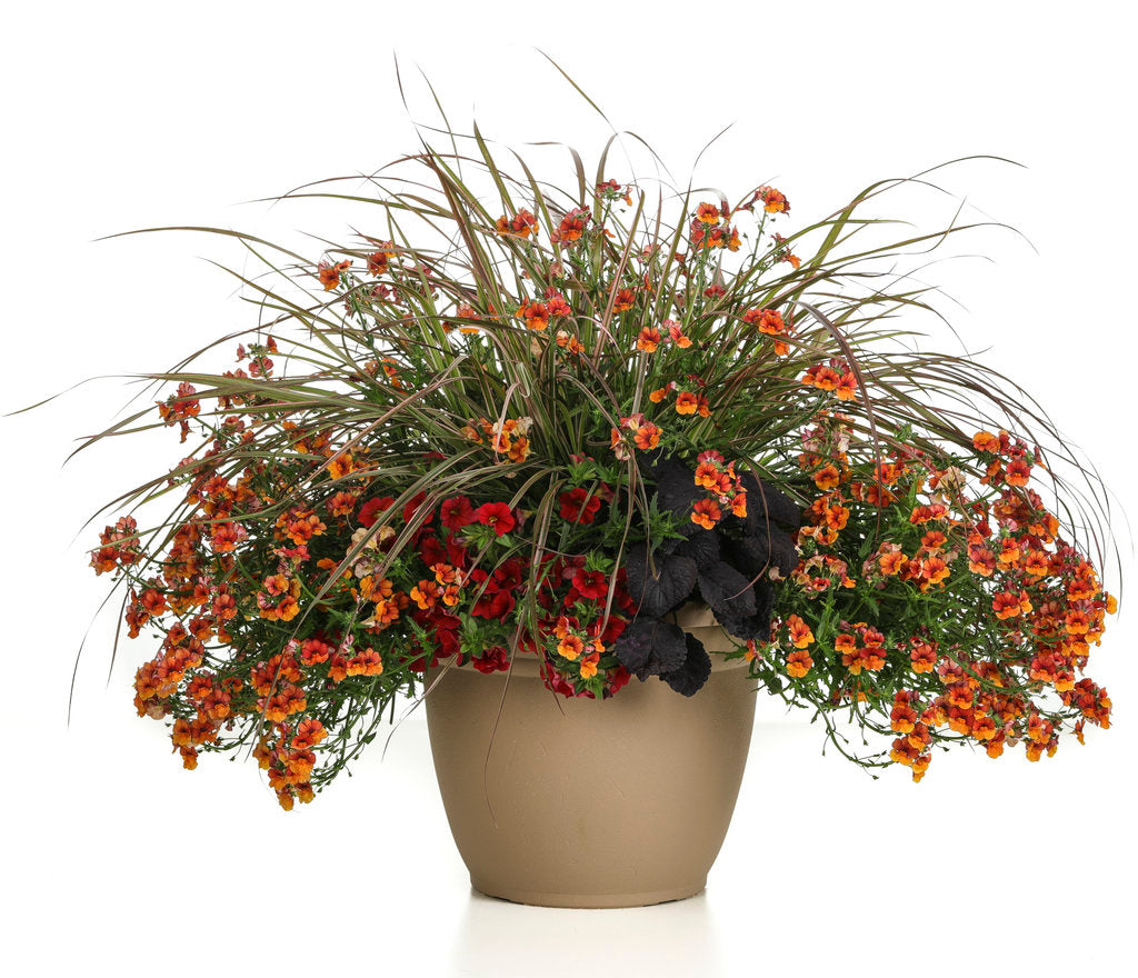 Graceful Grasses® 'Fireworks' | Proven Winners