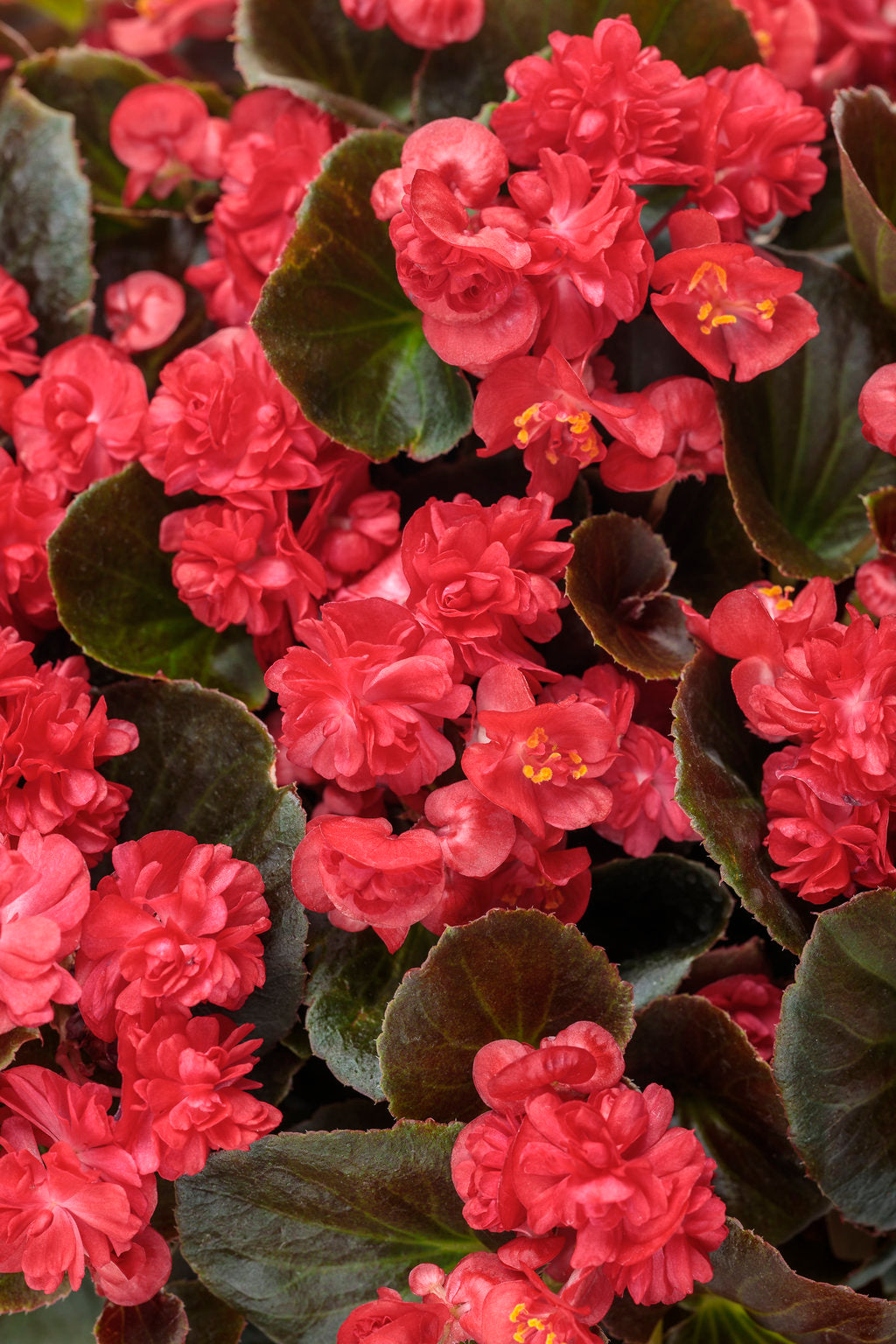 Double Up™ Red Begonia | Proven Winners