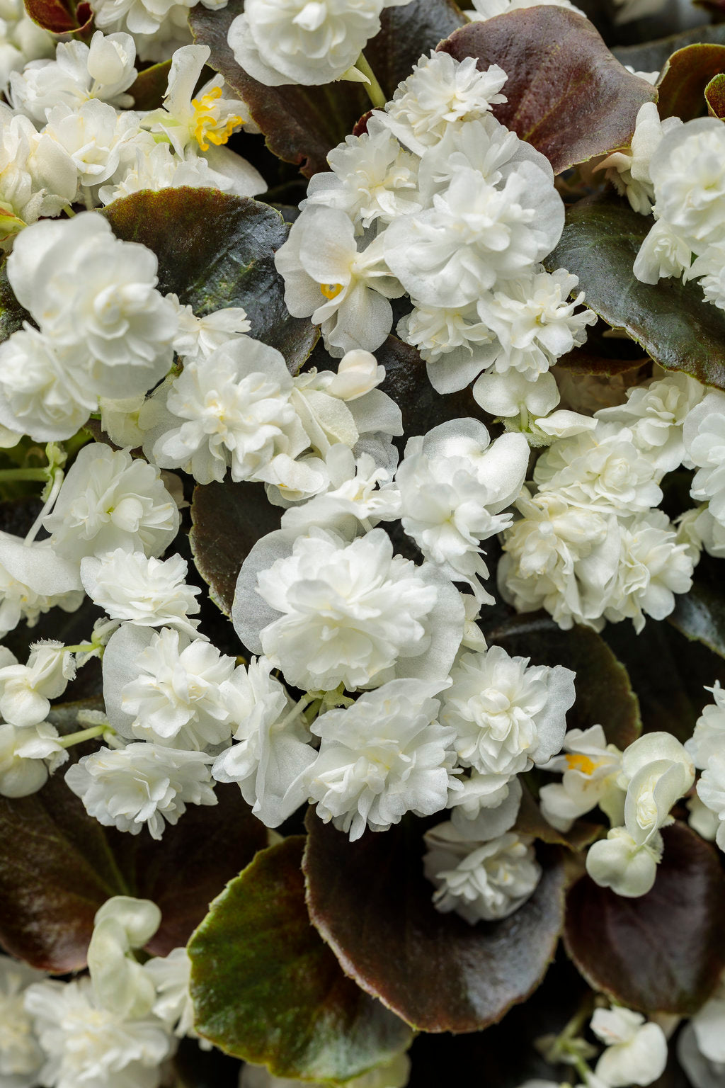 Double Up™ White Begonia | Proven Winners