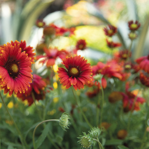 Heat it Up® Scarlet Gaillardia | Proven Winners