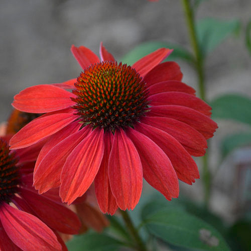 Color Coded® 'Frankly Scarlet' Coneflower Echinacea | Proven Winners