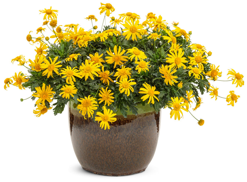 High Noon® Euryops | Proven Winners