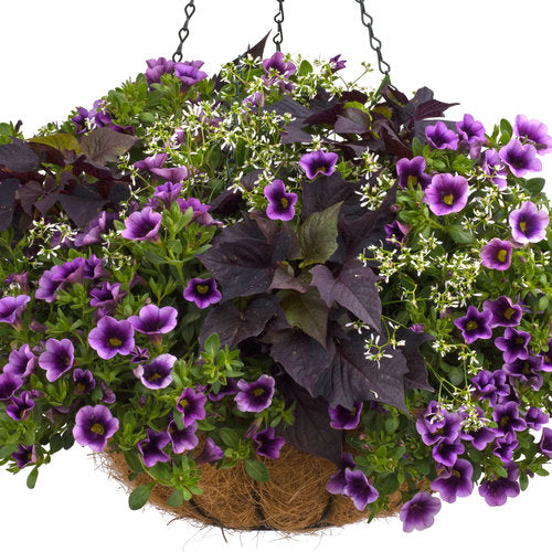 Proven Accents® Sweet Caroline Bewitched After Midnight™ Sweet Potato Vine | Proven Winners
