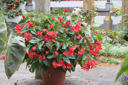 Dragon Wing® Red Angelwing Begonia | Proven Selections