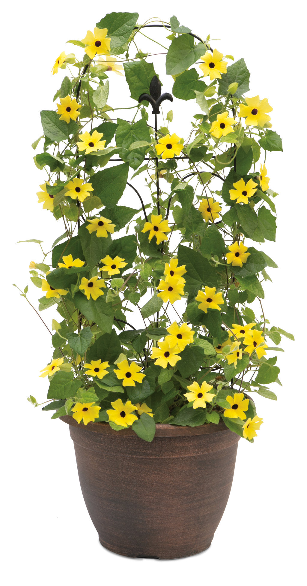 Lemon A-Peel® Black-Eyed Susan Vine | Proven Winners