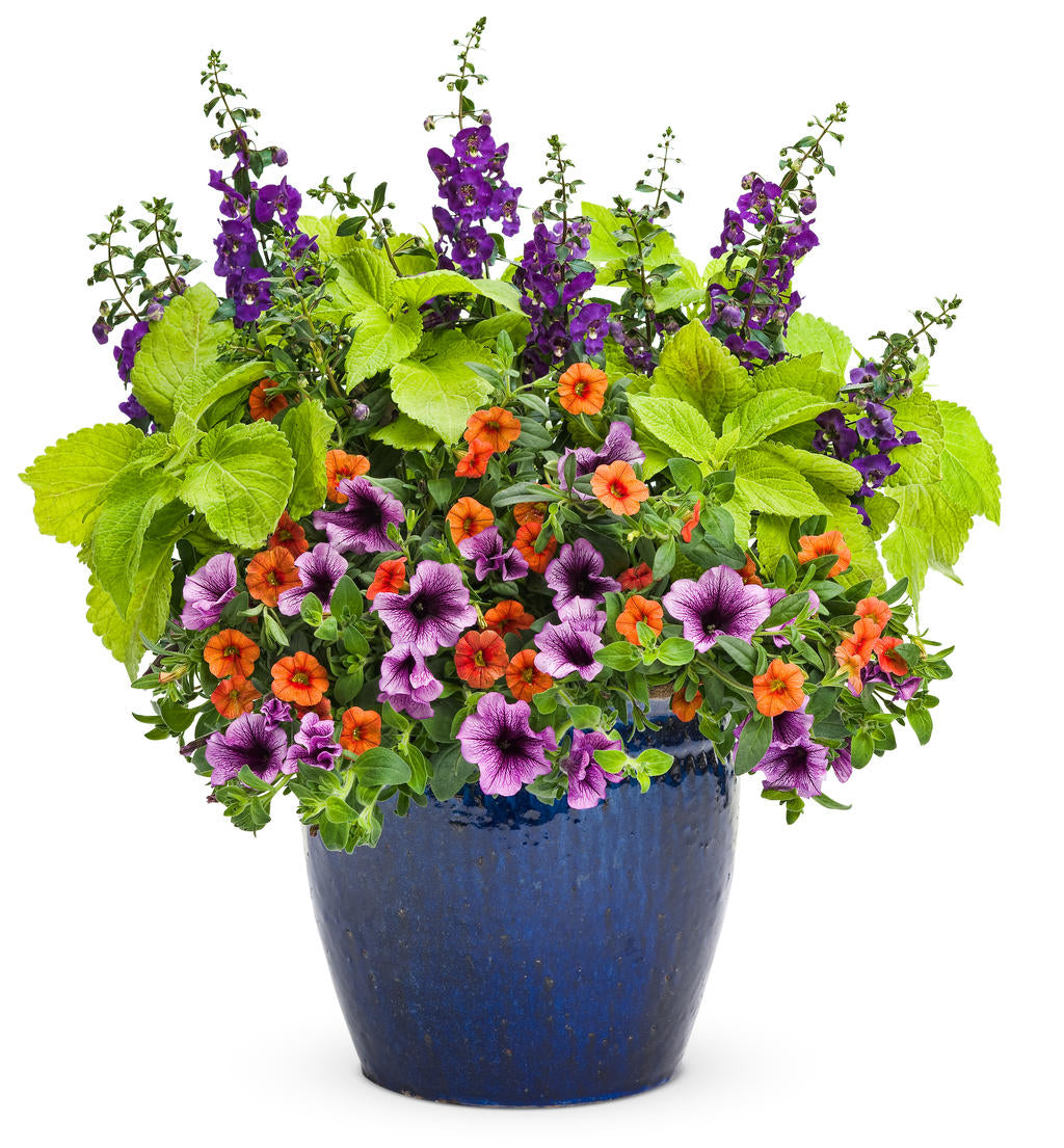 ColorBlaze® Lime Time™ Coleus | Proven Winners