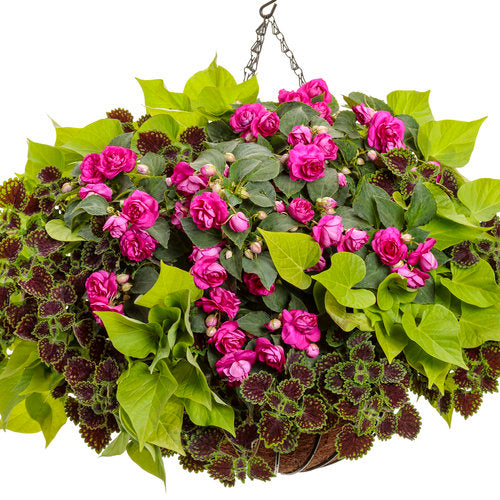 Proven Accents® Sweet Caroline Sweetheart Lime Sweet Potato Vine | Proven Winners