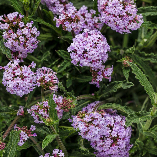 Meteor Shower® Verbena | Proven Winners