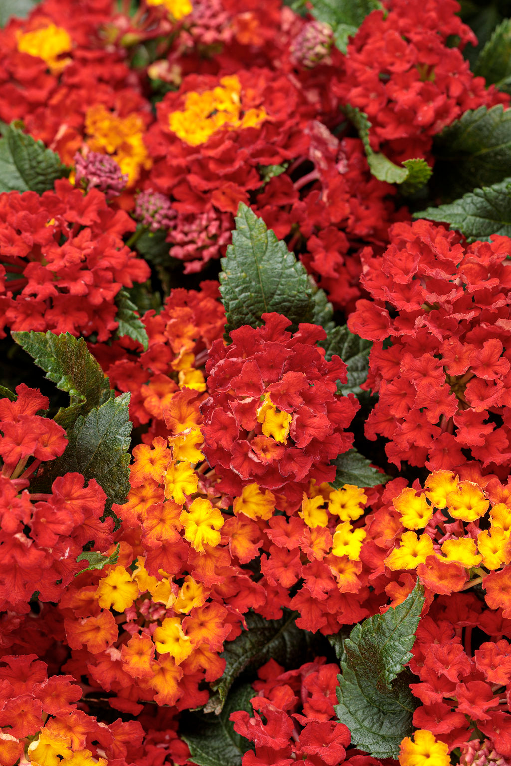 Luscious® Royale Red Zone™ Lantana | Proven Winners