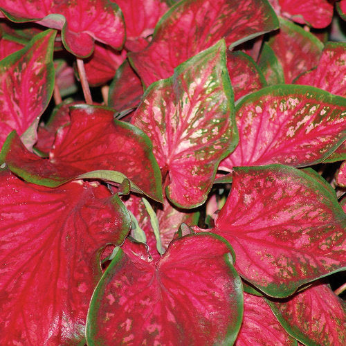 Heart to Heart® Scarlet Flame™ Caladium | Proven Winners