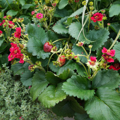 Berried Treasure® Red Strawberry | Proven Winners