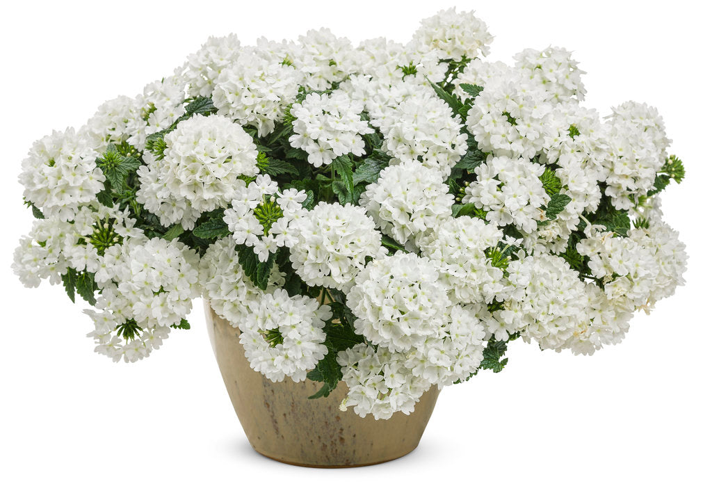 Superbena® Whiteout™ Verbena | Proven Winners