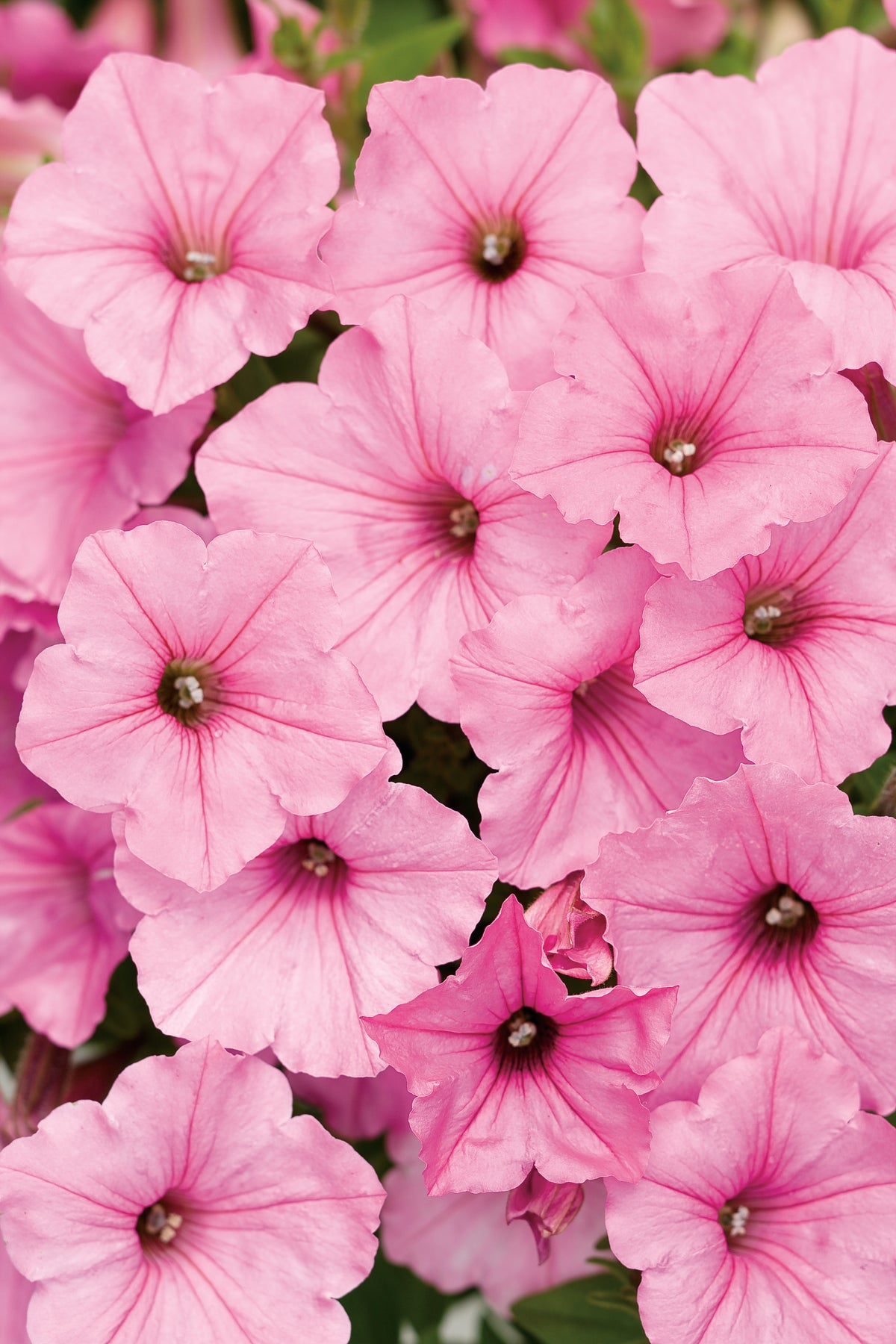 Supertunia Vista® Bubblegum® | Proven Winners