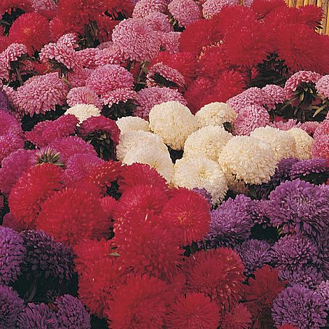 Aster (Carpet Ball Mixed) Seeds