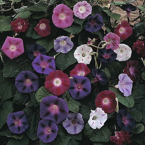Morning Glory 'Mixed Colours' Seeds
