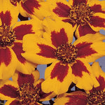 Marigold 'Naughty Marietta (French)' Seeds