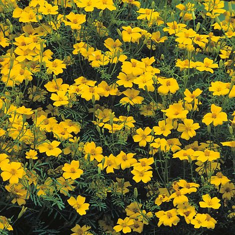 Tagetes 'Lemon Gem' Seeds