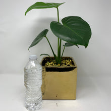 Load image into Gallery viewer, SPLIT LEAF PHILODENDRON
