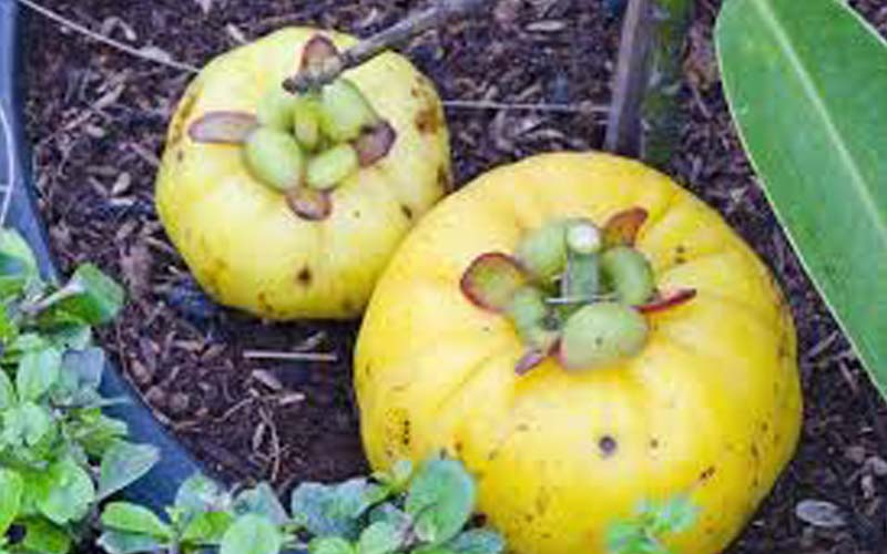 garcinia Cambogia, weight reduction, Boost energy levels, energy supporters, transient weight decrease, hydroxy citric destructive (HCA)