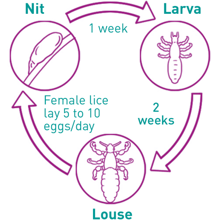 cycle of lice