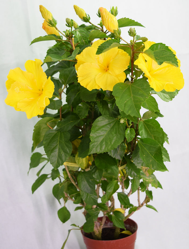 Hibiscus Yellow Flower