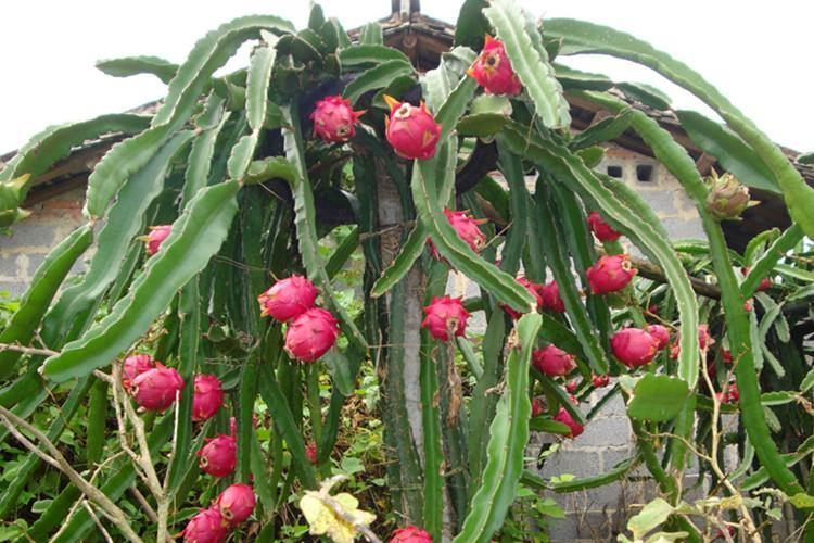 Dragon Fruit 5.jpg