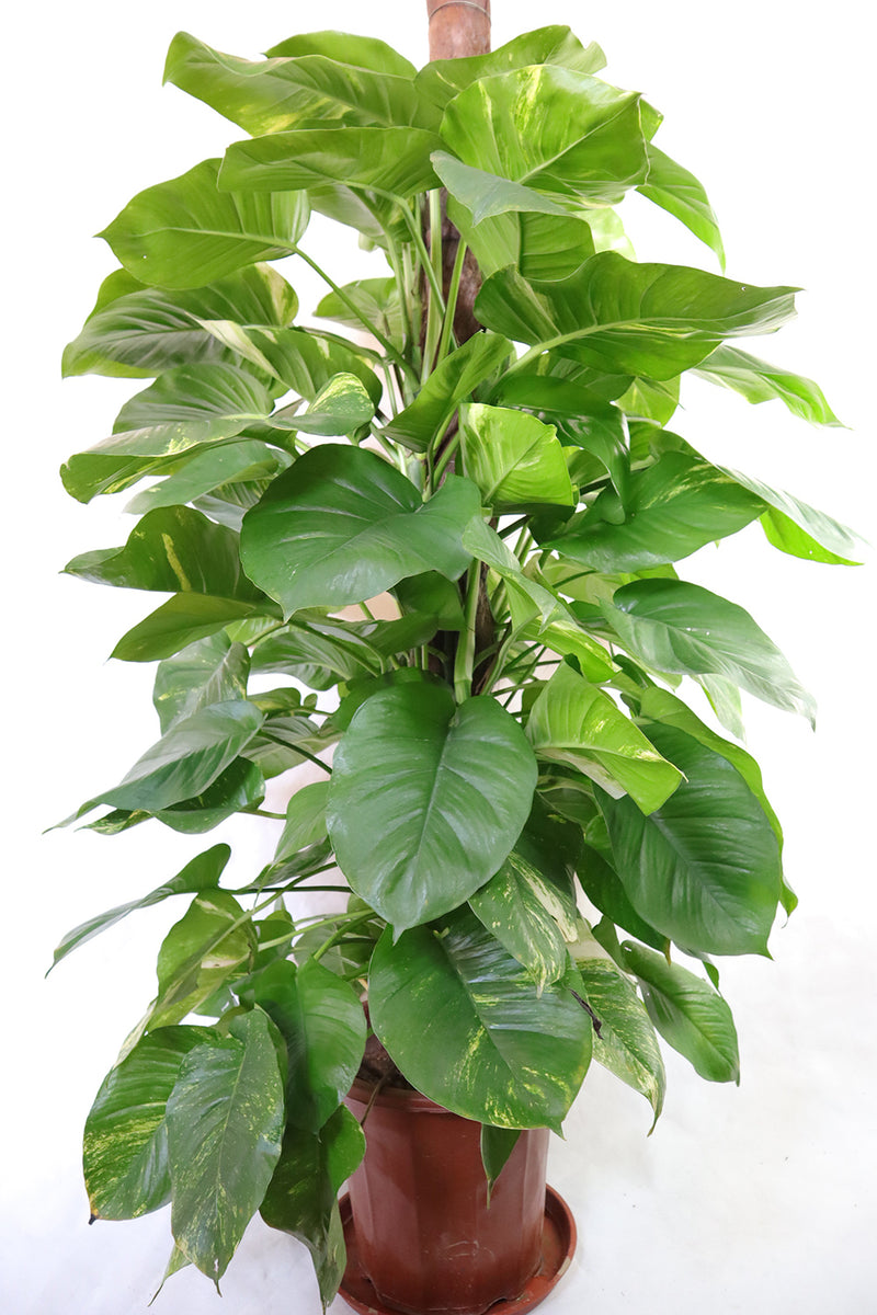 Golden Pothos Tower Style
