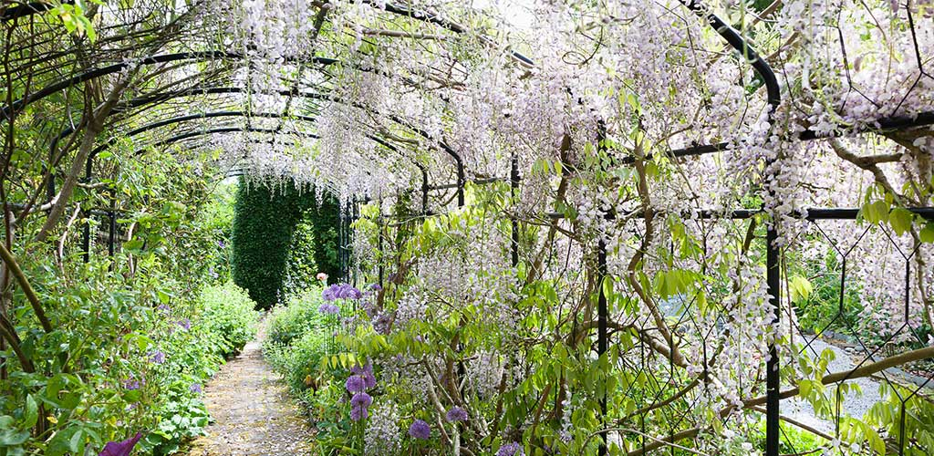 wisteria on Agriframes arches