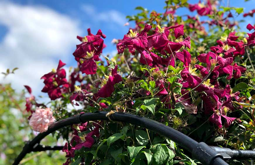 A guide to growing Clematis