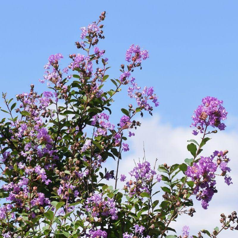 Purple Crape Myrtles (Lagerstroemia)