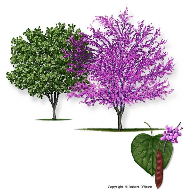 Red Bud Texas redbud  (Cercis canadensis)