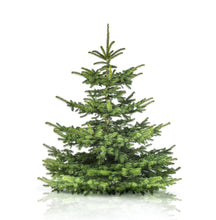Load image into Gallery viewer, 10ft Nordman Christmas Tree - Lucy Vail Floristry