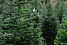 Load image into Gallery viewer, 9ft Nordman Fir Christmas Tree - Lucy Vail Floristry