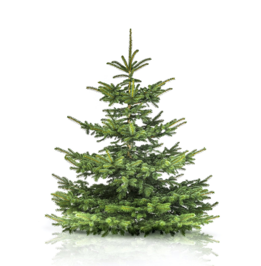 9ft Nordman Fir Christmas Tree - Lucy Vail Floristry