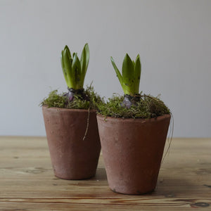 Single Potted Hyacinth - Lucy Vail Floristry