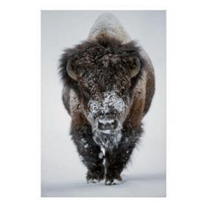 How Bison Keep Warm - Healthy Bison Meat Snack Sticks - BUFF