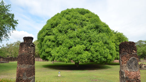 7 important trees that are sacred to India - Treed Stories