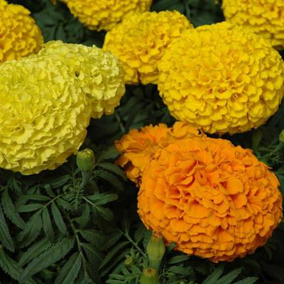 Marigold 'Marvel Mix' (6-Pack)