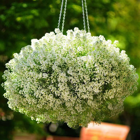 Alyssum 'Clear Crystals White' (6-Pack)