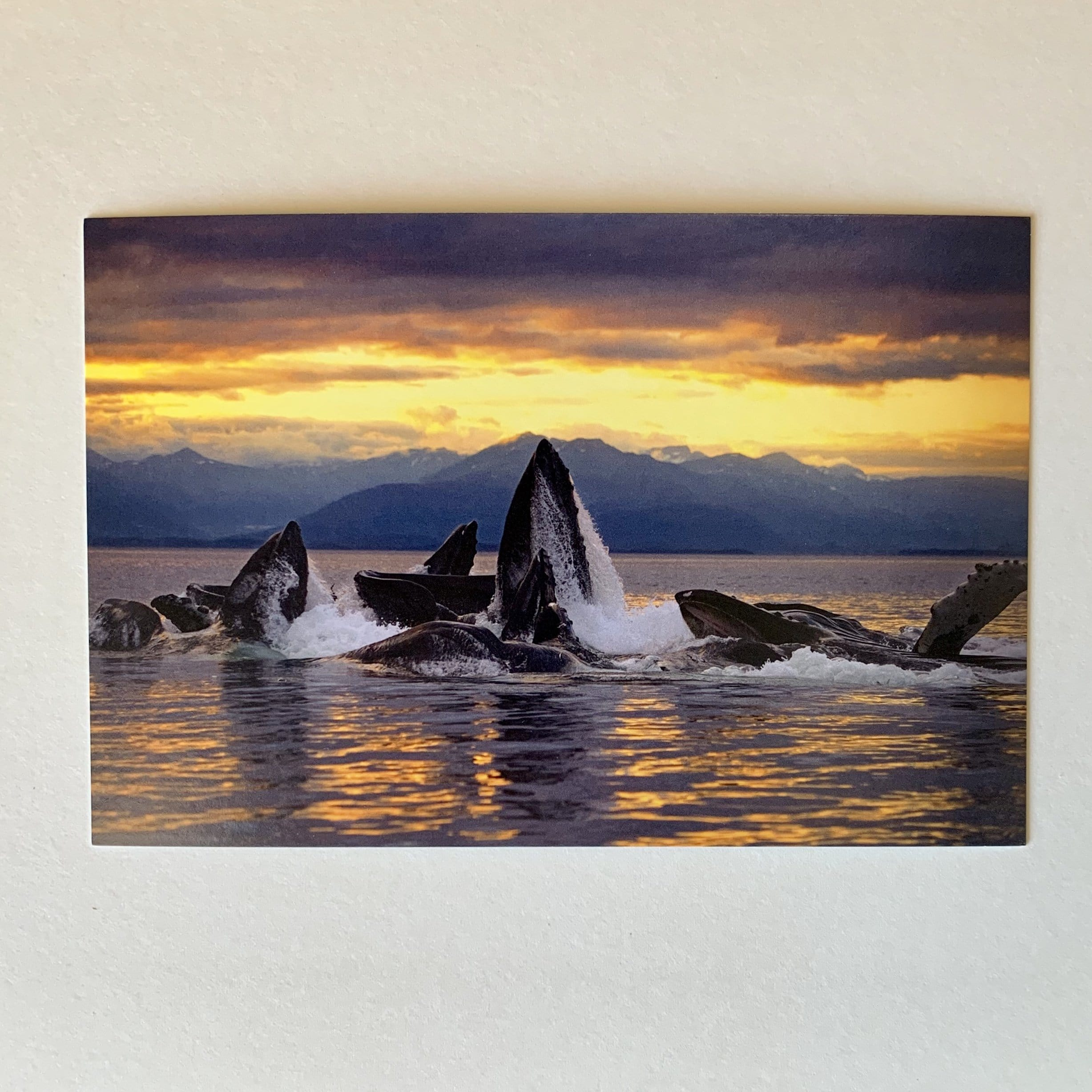 Bubble Feeding Humpbacks Postcard