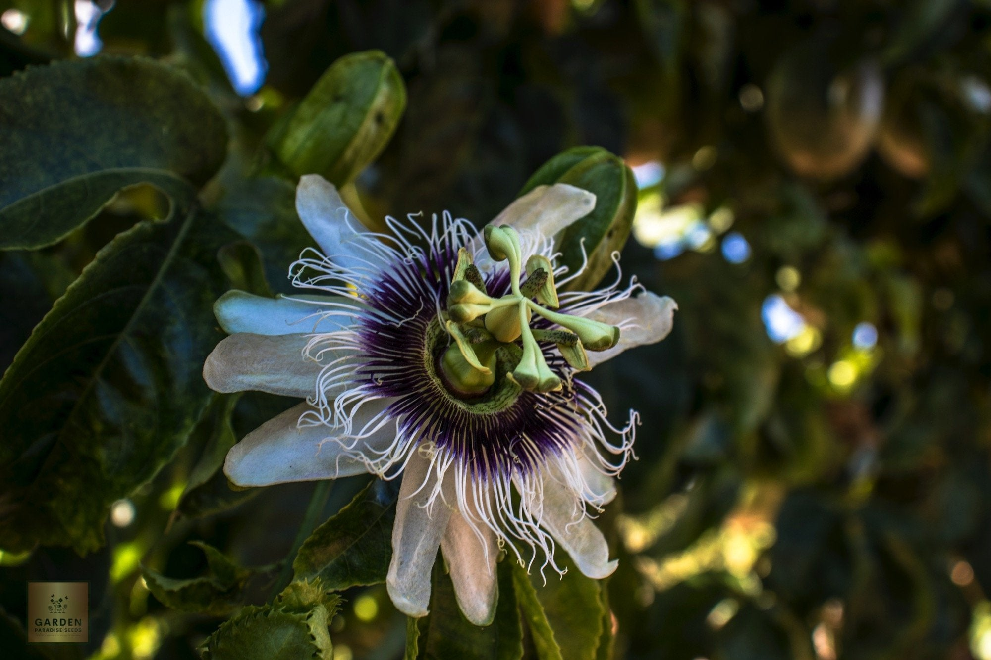 Passion fruit seeds exotic
